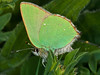 Green Hairstreak (Callophrys rubi). Copyright Peter Drury 2010