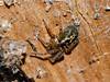 Lace web spider (Amaurobius fenestralis). Copyright 2009 Peter Drury