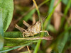 27 May 2011. Grasshopper nymph at Creech Wood. Copyright Peter Drury 2011