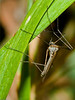 Crane-fly (Trichocera relegationis). Copyright 2009 Peter Drury