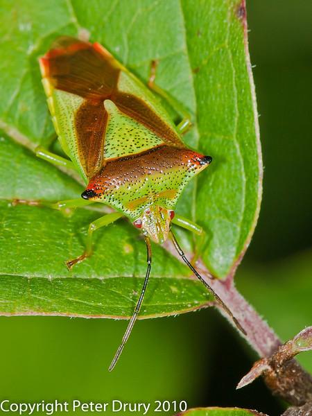 19 Aug 2010 - Hawthorn Shield Bug (Acanthosoma haemorrhoidale). Copyright Peter Drury 2010