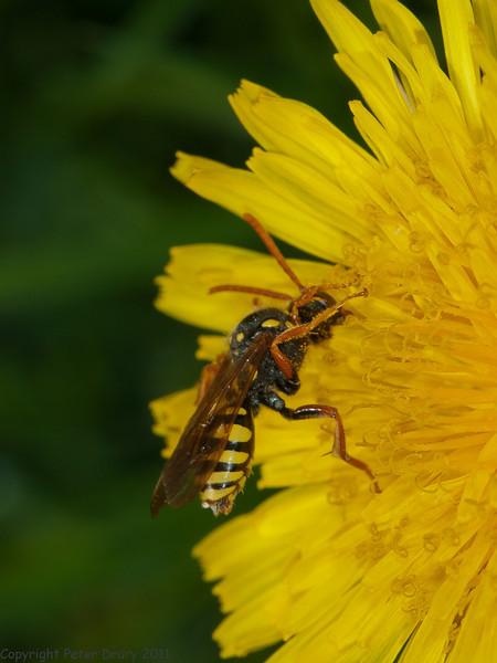 09 May 2011. Cuckoo Bee (Nomada sp.) at Widley. Copyright Peter Drury 2011