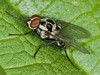 Anthomyiidae sp. Copyright Peter Drury 2010