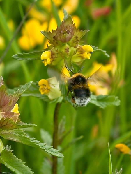 Garden Bumblebee (Bombas hortorum)