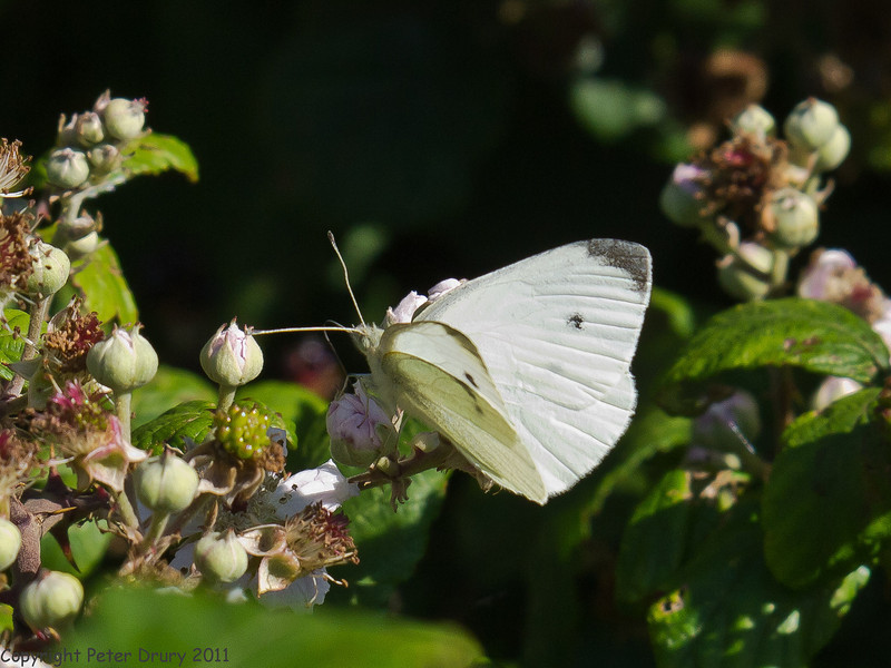 22 July 2011. Small White (male) on the Hayling Billy Trail. Copyright Peter Drury 2011