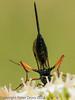 05 July 2012 Ichneumon Wasp for ID at Port Solent