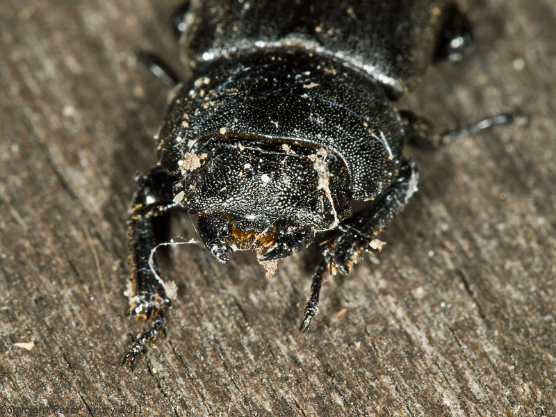 04 July 2011. Lesser Stag Beetle (Dorcus parallelipipedus) at Widley. Copyright Peter Drury 2011