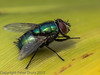 08 July 2012 Bluebottle fly at Widley