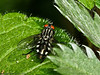 31 May 2011. Sarcophaga sp. at Creech Wood, Denmead. Copyright Peter Drury 2011