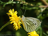 01 Sep 2011 Green-veined white on the Hayling Billy Trail.