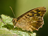 29 Sep 2011 Speckled Wood at Plant Farm