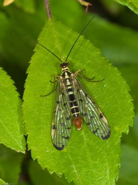 Scorpion Fly (Panorpa sp.) male. Copyright Peter Drury 2010