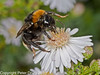 18 Sep 2010 - Buff-tailed Bumblebee (Bombas terretris) at Portchester Common, Portsdown Hill. Copyright Peter Drury 2010