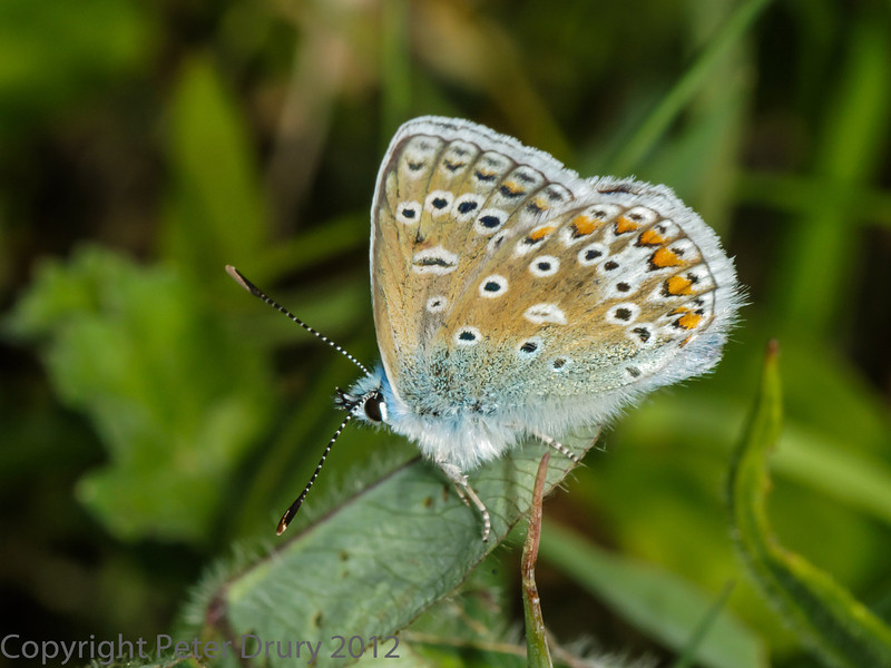 25 May 2012 Common Blue in the Chalk Quarry