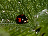 2 Spot Ladybird (Adalia 2-punctata). Copyright 2009 Peter Drury<br /> Ladybirds are not categorised by the number of spots that you see nor even the colour. The distictive feature of this ladybird is the mainly black Pronotum (part of body between the head and the wing case) which has five black spots and the black legs. The spots on the wing case can be anything from 0 to 16. <br /> It  can be found in low plants and feeds on aphids.<br /> This specimen was found on the south bank of the lagoon amongst the nettles. It is a mainly black variety.