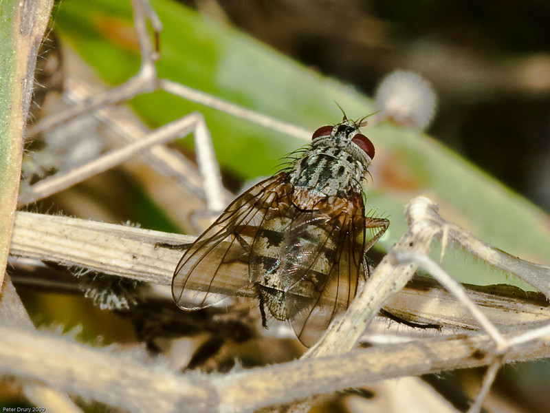 House-fly (Phaonia valida). Copyright 2009 Peter Drury