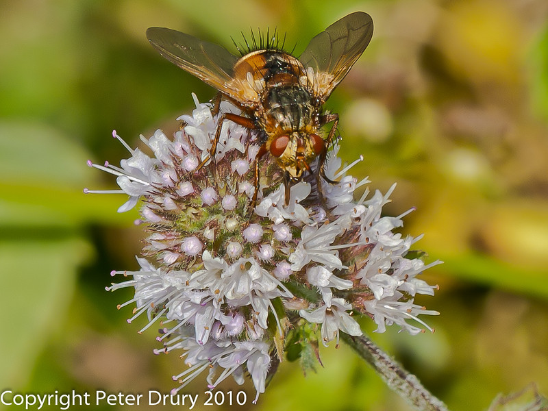08 Aug 2010 - Tachina fera. Copyright Peter Drury 2010