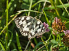 01 July 2011. Marbled White at the Chalk Quarry. Copyright Peter Drury 2011