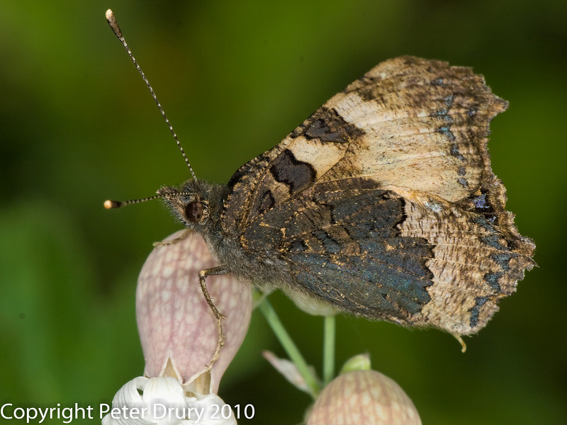 Moth for ID. Copyright Peter Drury 2010