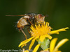 04 Sep 2010 - Tachina fera at Broadmarsh. Copyright Peter Drury 2010