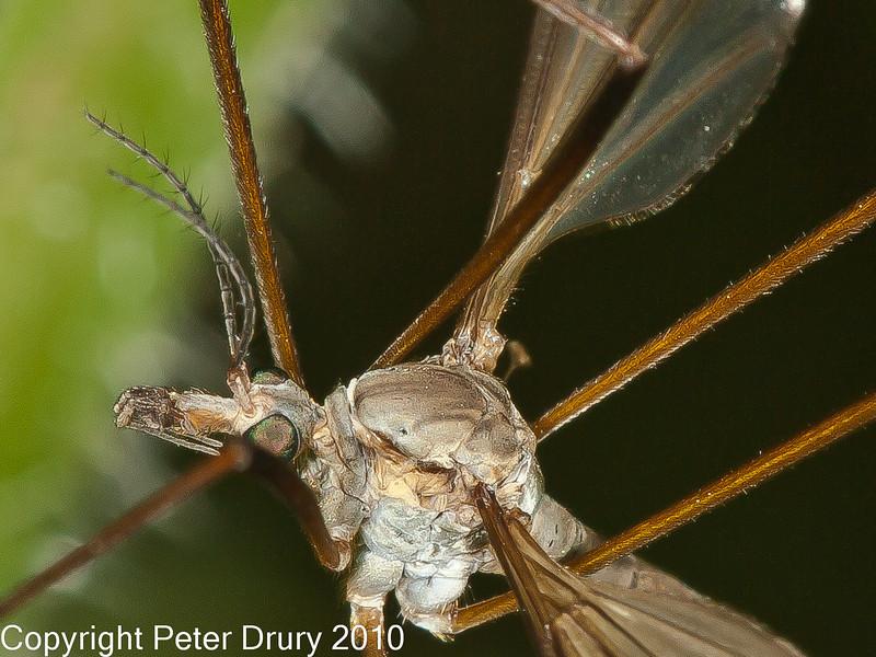 02 Sep 2010 - Crane fly (Tipula paludosa) close cropped. Copyright Peter Drury 2010