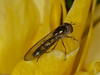 Melanostoma scalare. Copyright Peter Drury 2010