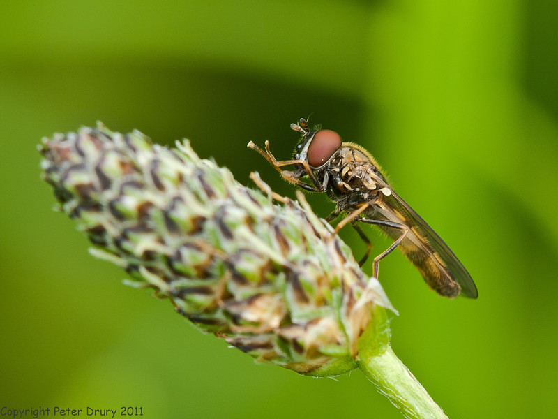 22 July 2011. Melanostoma mellinum (male) at Portchester Common. Copyright Peter Drury 2011