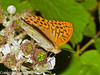Silver-washed Fritillary. Copyright Peter Drury 2010