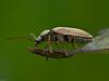 Orchid Beetle (Dascillus cervinus)