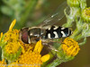 08 Aug 2010 - Scaeva pyrastri. Copyright Peter Drury 2010