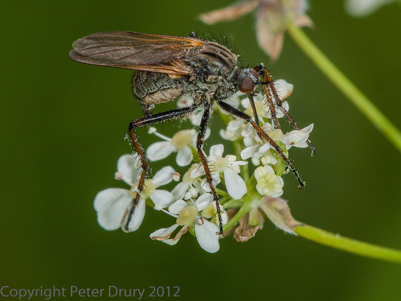 Empis tesselata (female) at West Hayling LNR