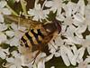 Hoverfly (Syrphus ribesii). Copyright 2009 Peter Drury