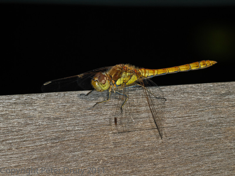 28 July 2011 Immature male Common Darter at Widley