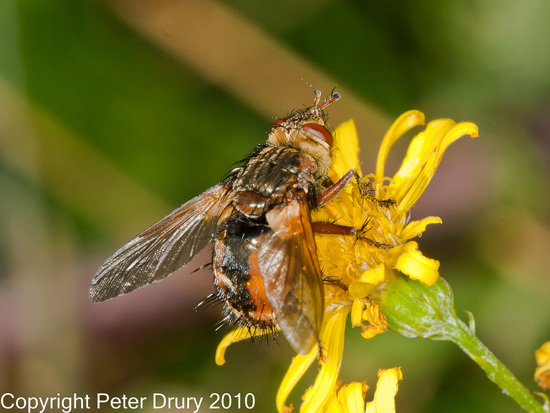 12 Sep 2010 -  Tachina fera seen at Broadmarsh, Langstone Harbour. Copyright Peter Drury 2010