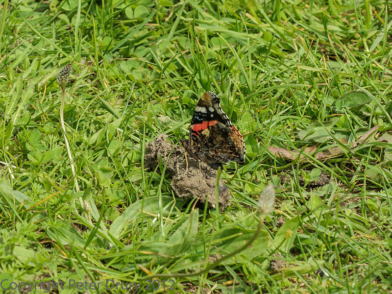 28 June 2012 Red Admiral at Portchester Common.