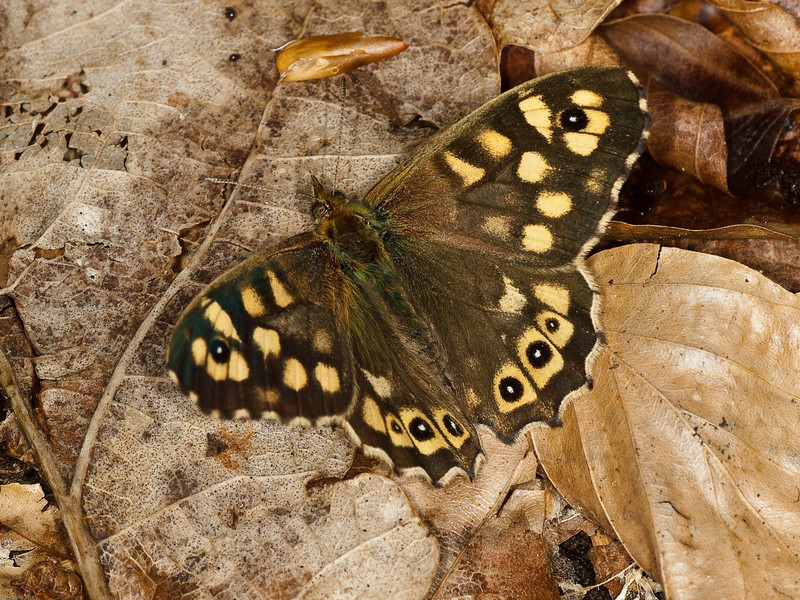 Speckled Wood (Pararge aegeria). Female. Copyright Peter Drury 2010