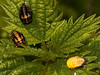 Ladybird Pupae. Copyright 2009 Peter Drury<br /> The ladybird larvae pupate openly on leaves (in this case nettle) from which an adult ladybird will emerge.