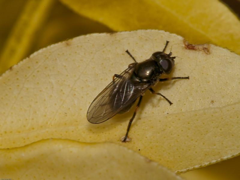 Cheilosia albipila. Copyright Peter Drury 2010