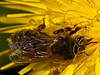 Honey Bee (Apis mellifera). Copyright Peter Drury 2010