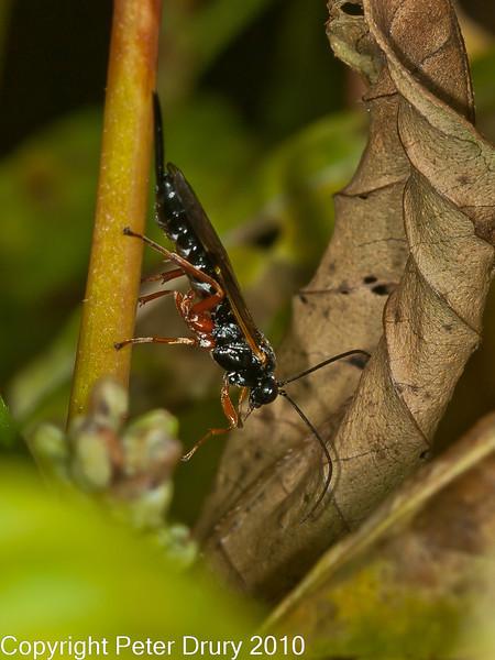 23 Sep 2010 - Ichneumon Wasp (Ichneumondae sp) at Plant Farm, Waterlooville. Copyright Peter Drury 2010