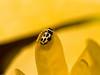 02 May 2009. 16-spot ladybird (Tytthaspis 16-punctata)