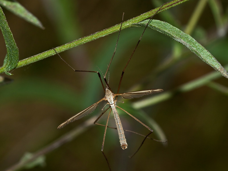 Cranefly (Tipula oleracea). Copyright 2009 Peter Drury<br /> Male