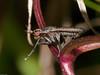 Coremacera marginata. Copyright 2009 Peter Drury