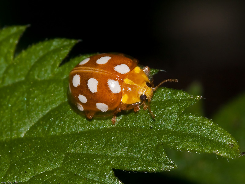 01 Oct 2009. Orange Ladybird (Halyzia 16-guttata), Copyright 2009 Peter Drury<br /> These are instantly recognisable, apart from the colouring, they have a translucent case as can be seen here.