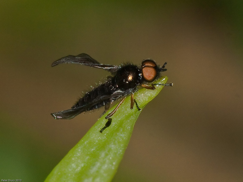 Stratiomyiidae, Beris chalybata. Copyright Peter Drury 2010