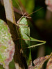 Great Green Bush-cricket (Tettigonia viridissima). Copyright 2009 Peter Drury