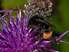 Red tailed Bumblebee (Bombus lapidarius). Copyright 2009 Peter Drury