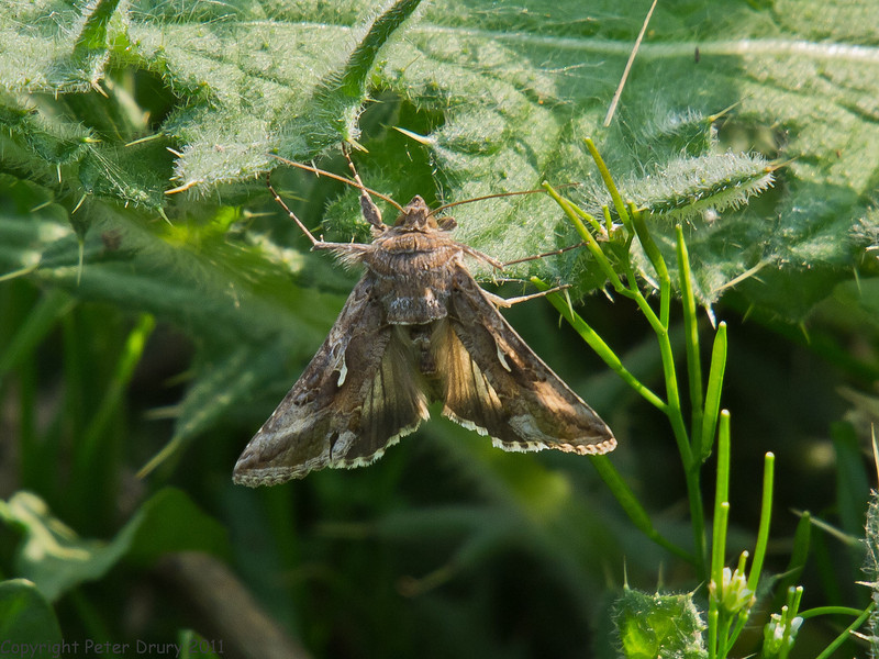 24 April 2011. Silver Y (Autographa gamma) at the Oysterbeds. Copyright Peter Drury 2011