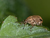 19 May 2012 Pea Weevil at West Hayling LNR