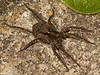 Wolf Spider (Lycosidae sp). Copyright Peter Drury 2010